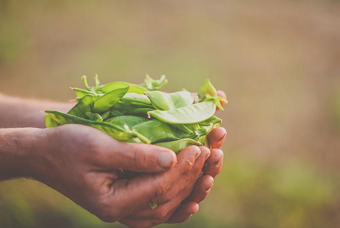 zaytunafarm-harvest